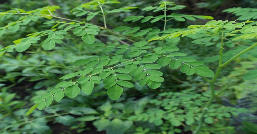 Moringa oleifera plant